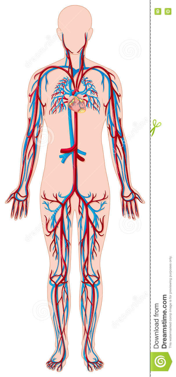 coronary arteries diagram branches pump wiring blood vessels in human body stock vector - illustration of human, health: 73941354