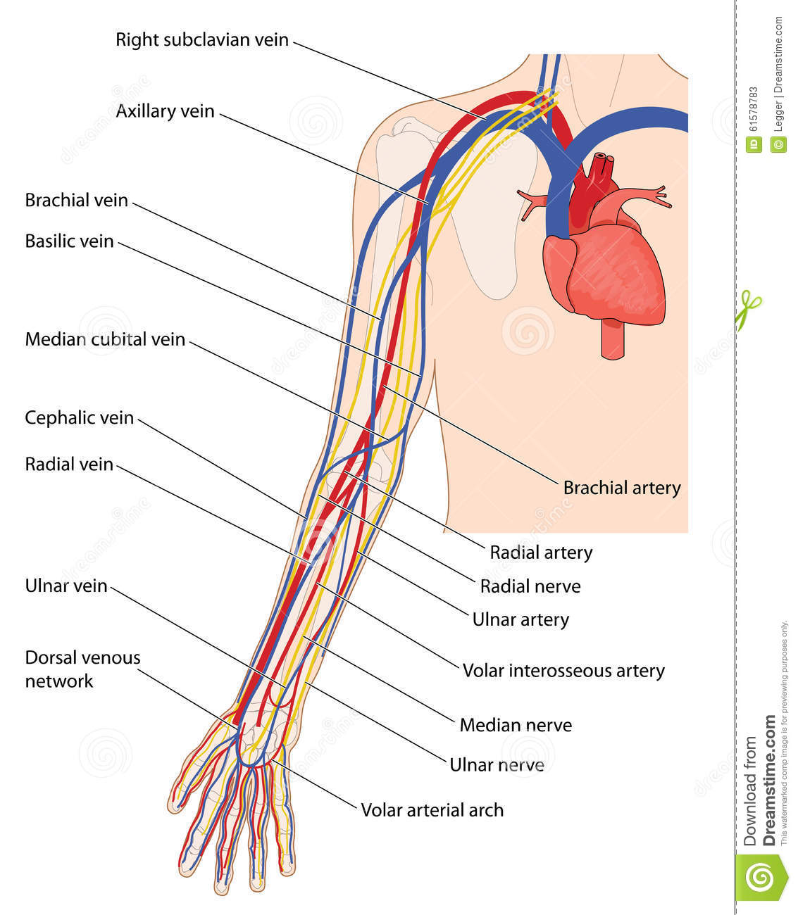 hight resolution of arteries veins and nerves of the arm from the heart down to the fingers created in adobe illustrator contains transparent objects eps 10