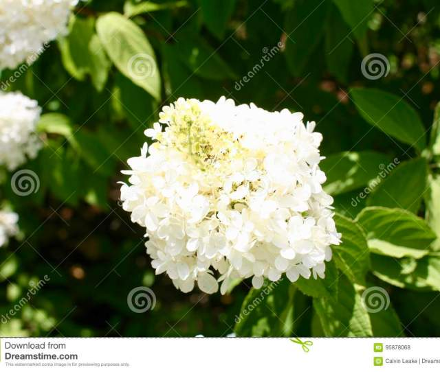 Annabelle Hydrangeas Are Attractive Shrubs That Produce Clusters Of White Flowers During Spring And Summer