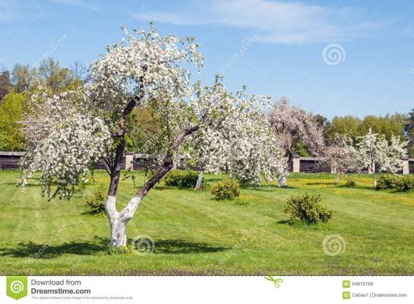 Blossoming Apple-tree On Background Of Green Grass With ...