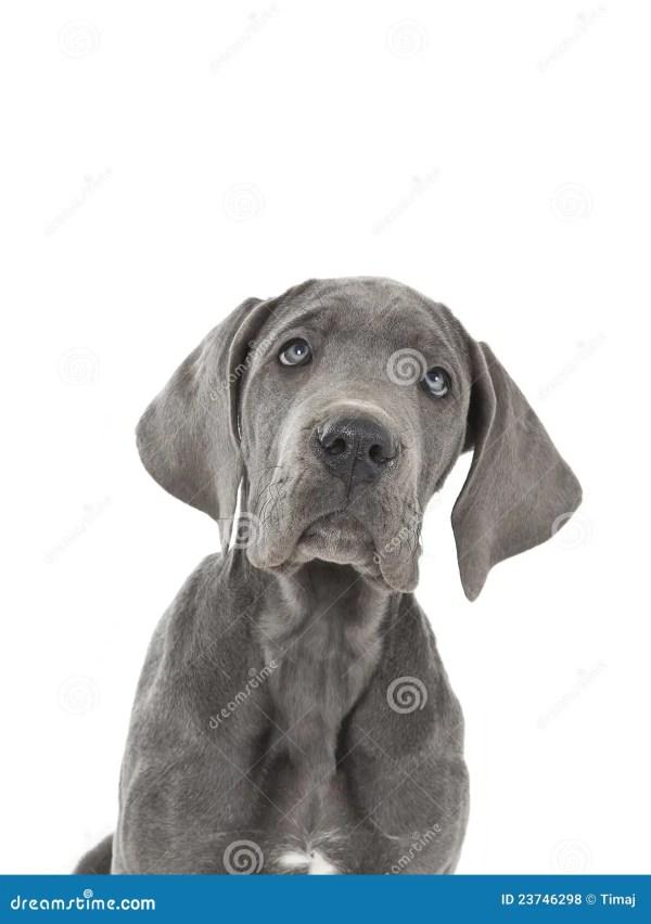 Blue great dane puppy stock photo Image of face portrait
