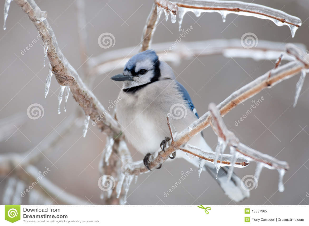 Blue Jay On Ice Covered Branches Royalty Free Stock Photo