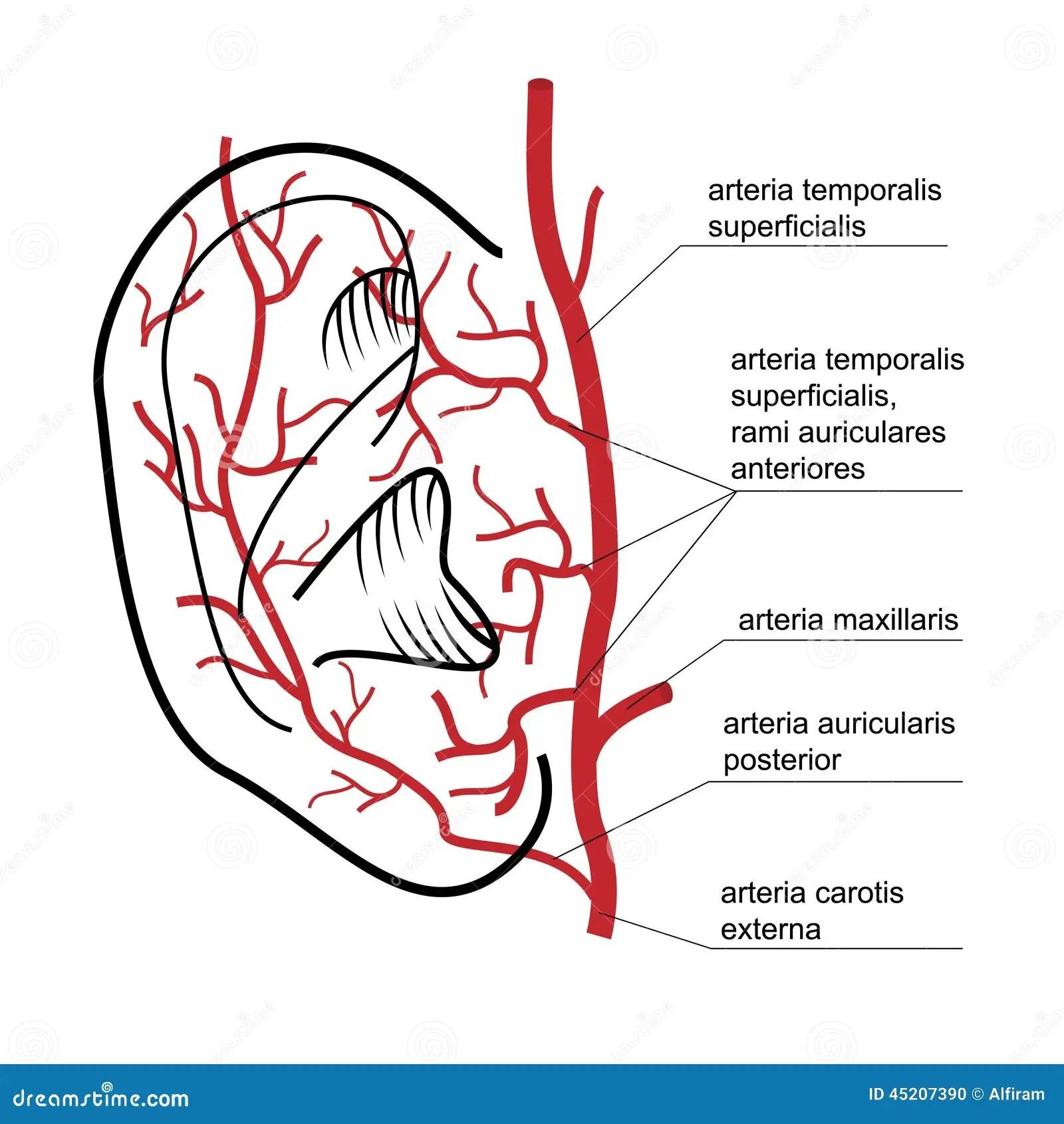 Blutversorgung Zum Ohr Des Mannes Vektor Abbildung