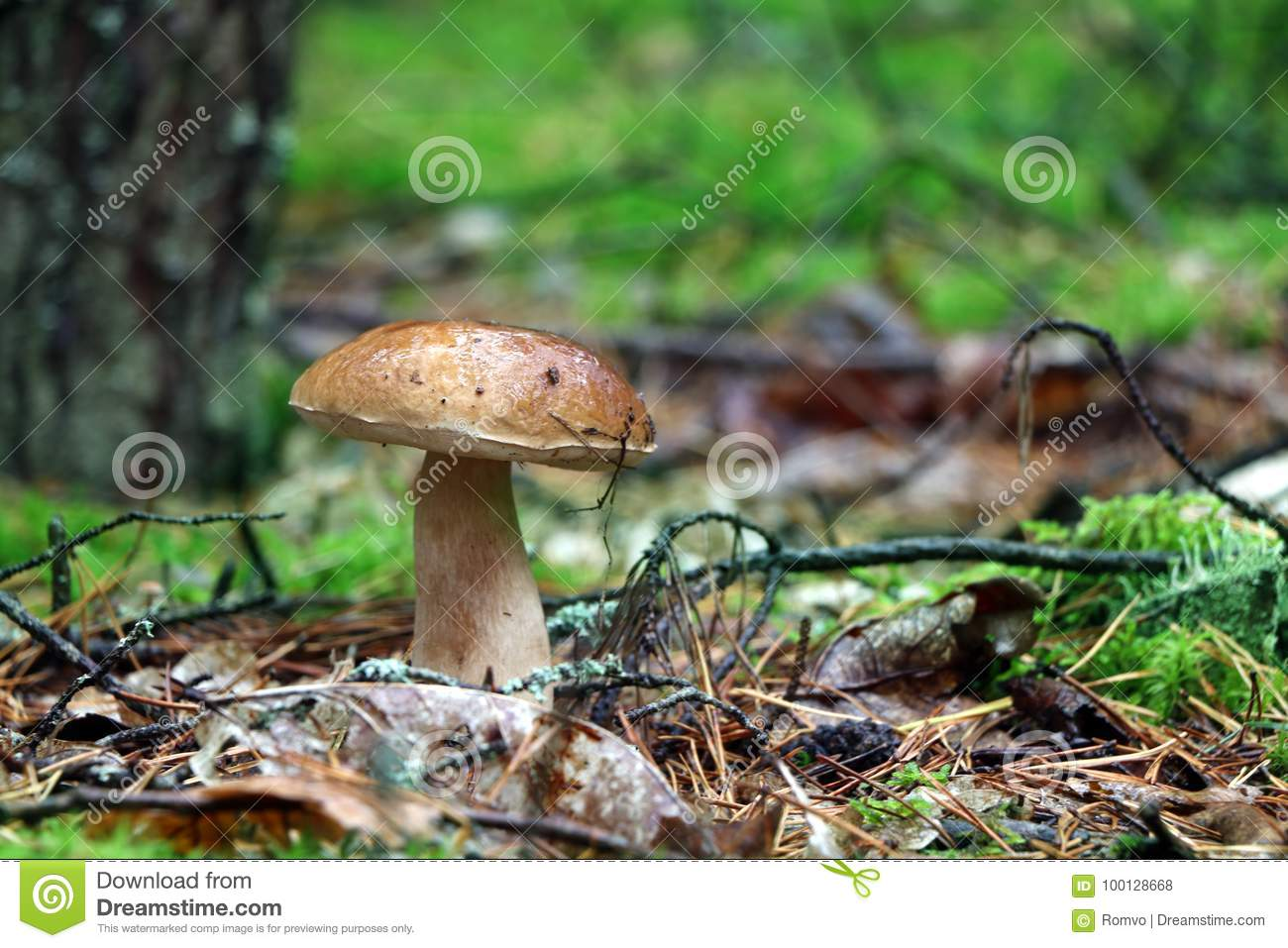 Boletus Mushroom In The Rain Stock Photo
