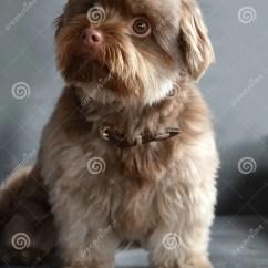 Pet Dog Sofa Sofas For 200 Pounds Bolonka Zwetna Stock Photo - Image: 61331524