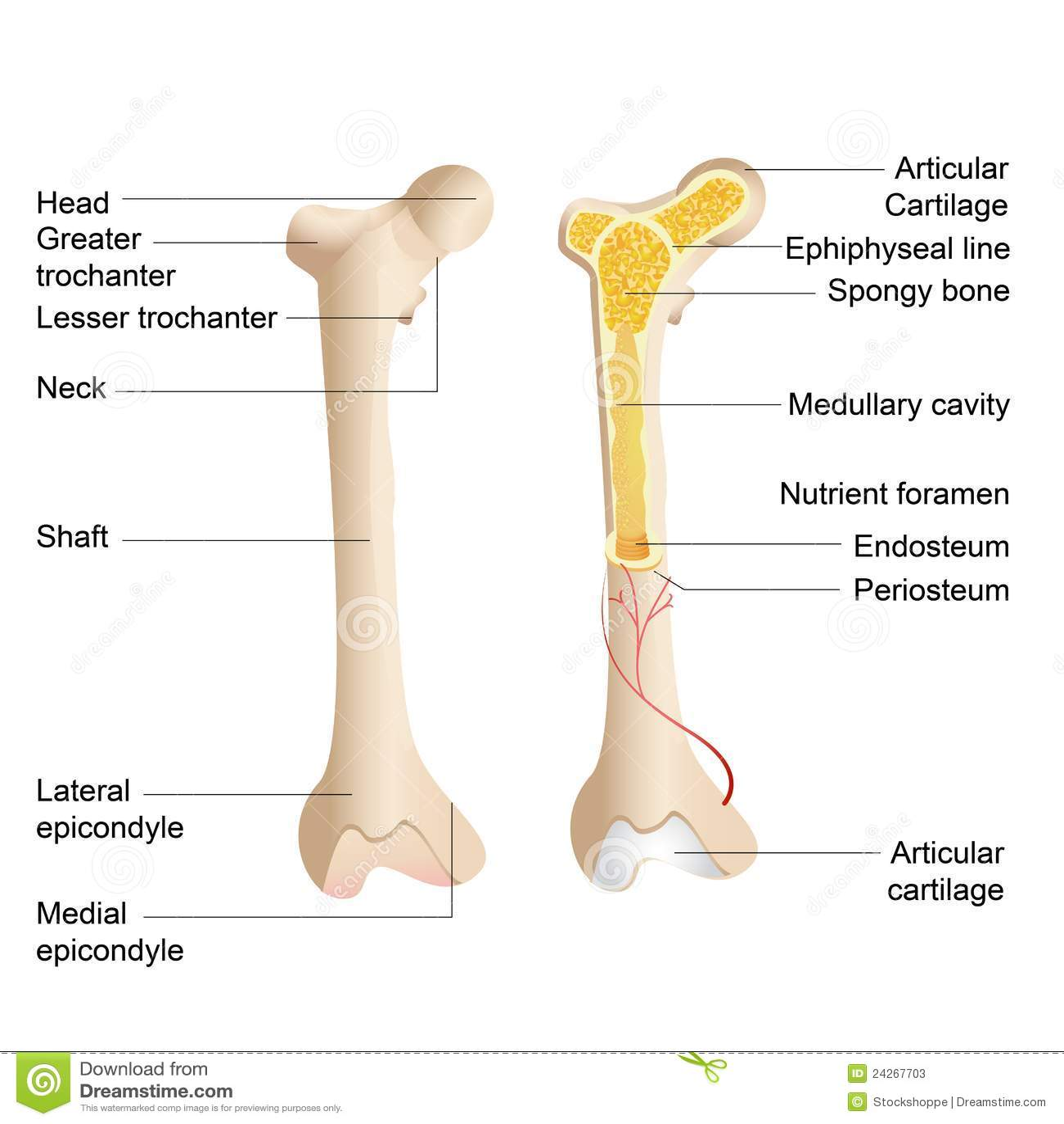 bone marrow cell diagram murray lawn mower solenoid wiring anatomy stock vector illustration of calcium