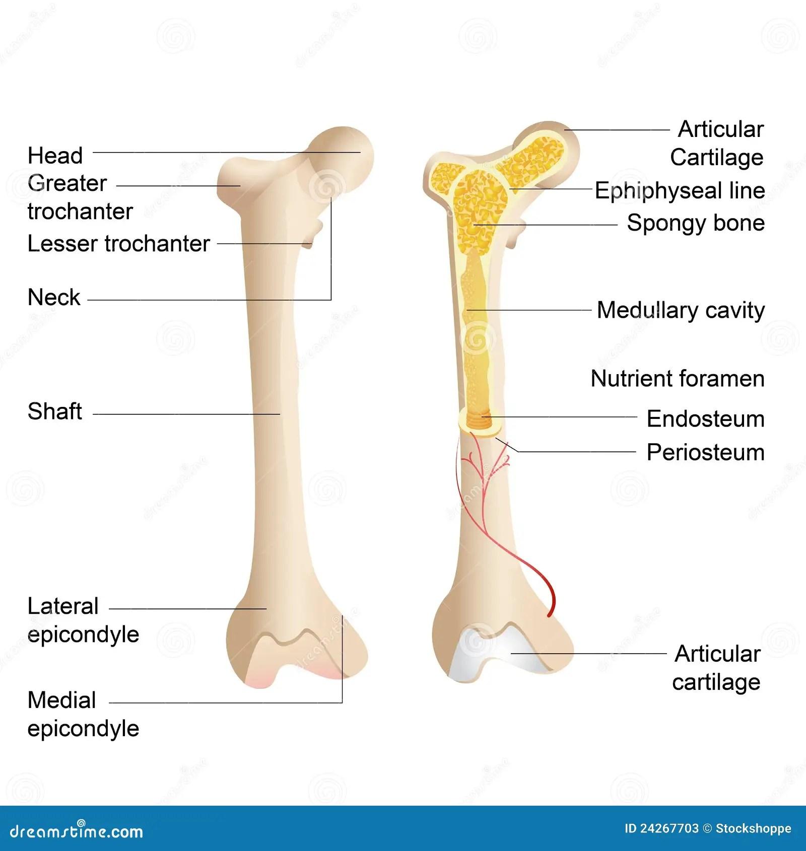 hight resolution of bone anatomy