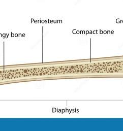a labeled diagram of a long bone [ 1300 x 749 Pixel ]