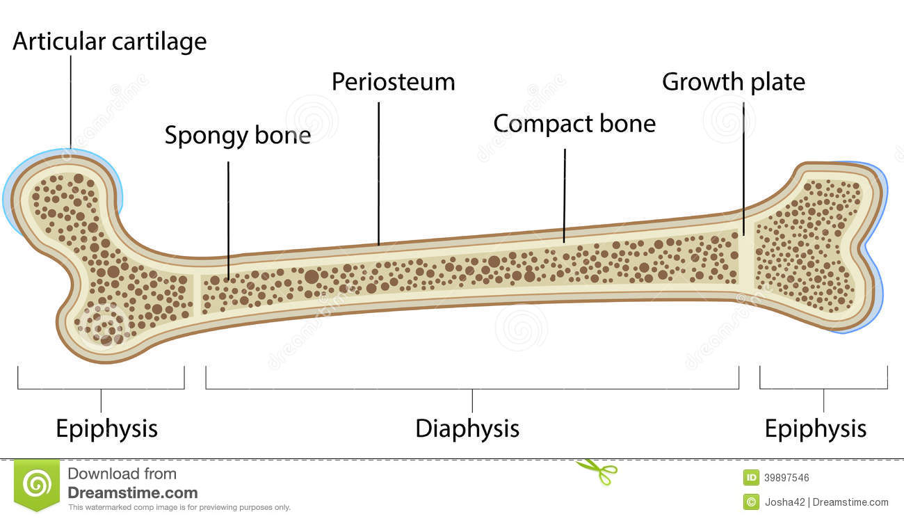 hight resolution of a labeled diagram of a long bone