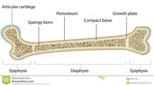 Bone Anatomy Labeled Diagram Stock Vector  Illustration