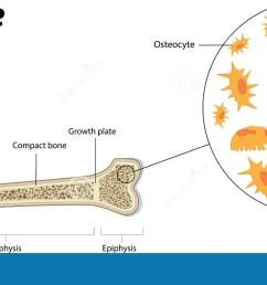 bone biology and anatomy [ 1300 x 669 Pixel ]