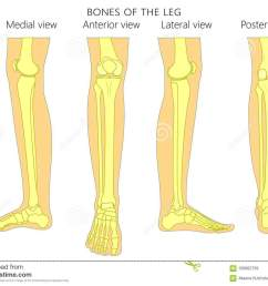bones of a human leg different views posterior frontal anterior back side lateral medial with ankle and knee vector illustration for advertising  [ 1300 x 1019 Pixel ]