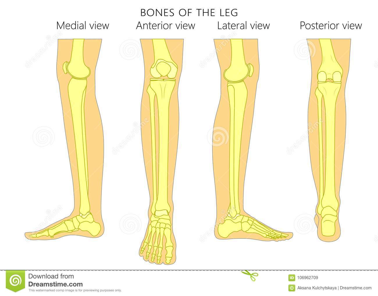 hight resolution of bones of a human leg different views posterior frontal anterior back side lateral medial with ankle and knee vector illustration for advertising