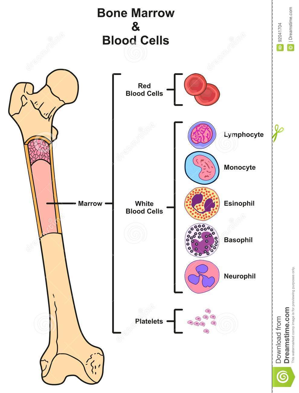 hight resolution of bone marrow blood cells stock vector illustration of infographic diagram of a bone matrix bone