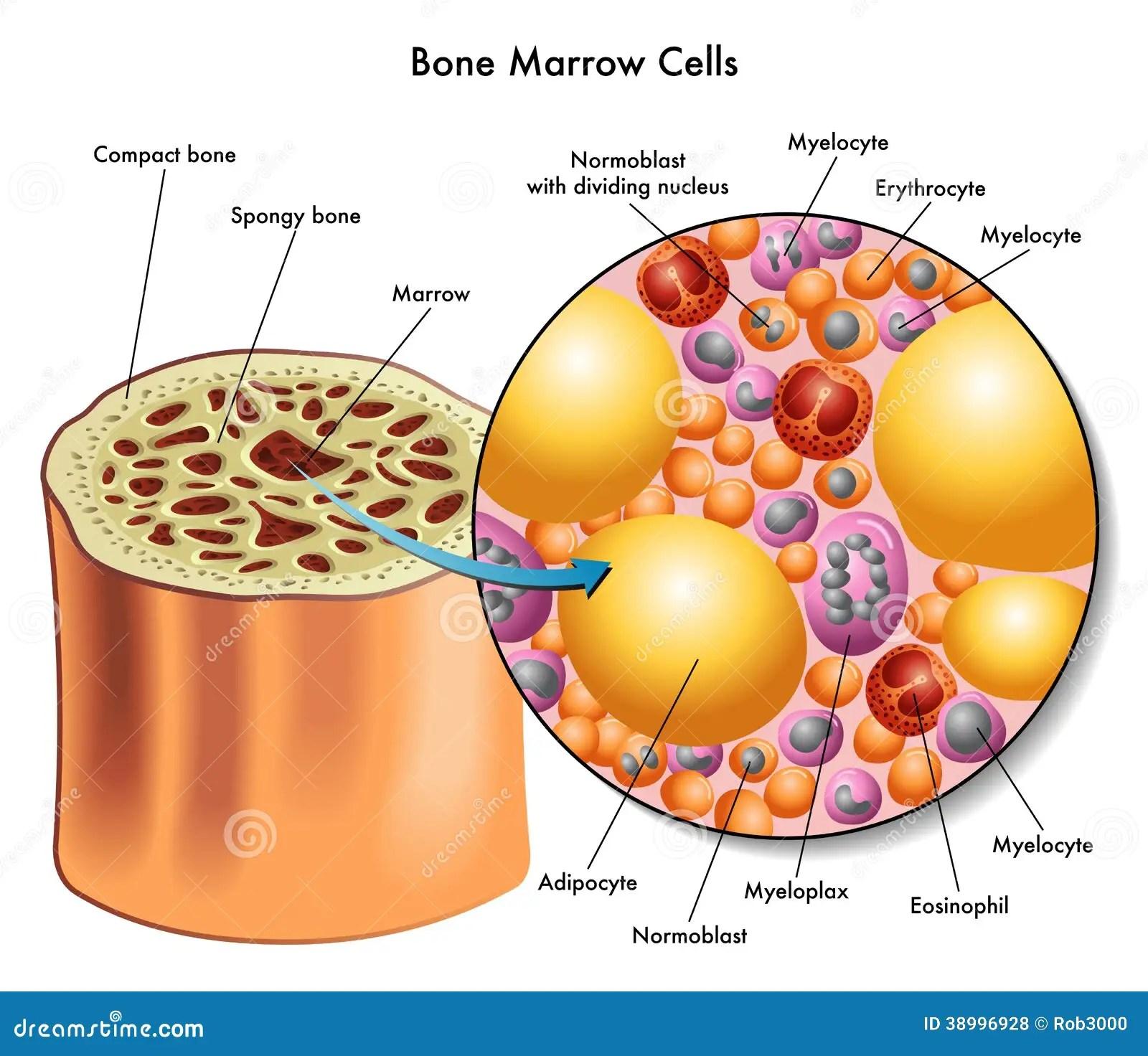 bone marrow cell diagram vw golf vr6 wiring cells stock vector image 38996928