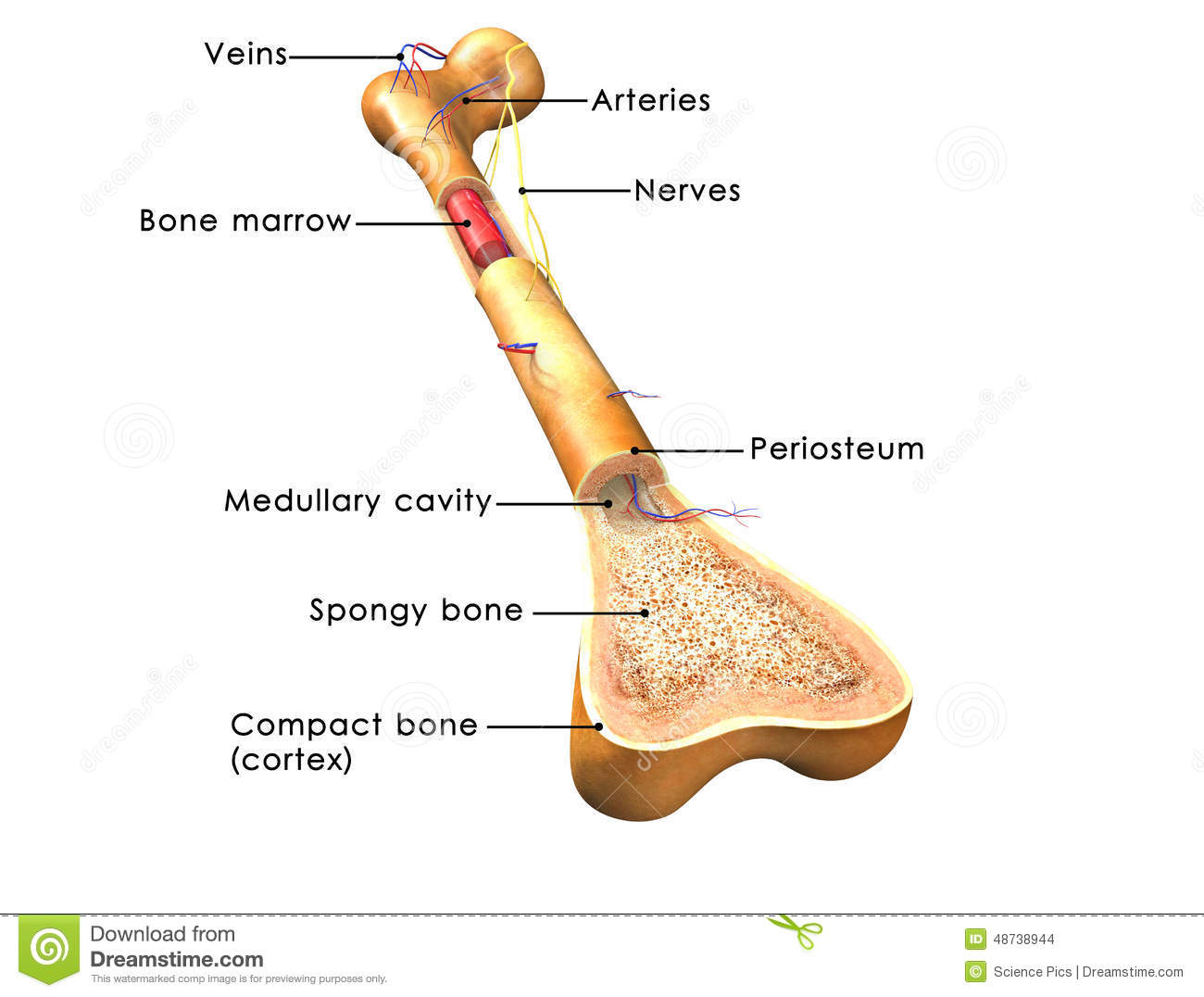 hight resolution of bone structure