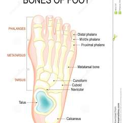 Foot Pulses Diagram Sun Worksheet Bones Of Stock Vector Illustration Healthy 98161797 Human Anatomy The Shows Placement And Names All