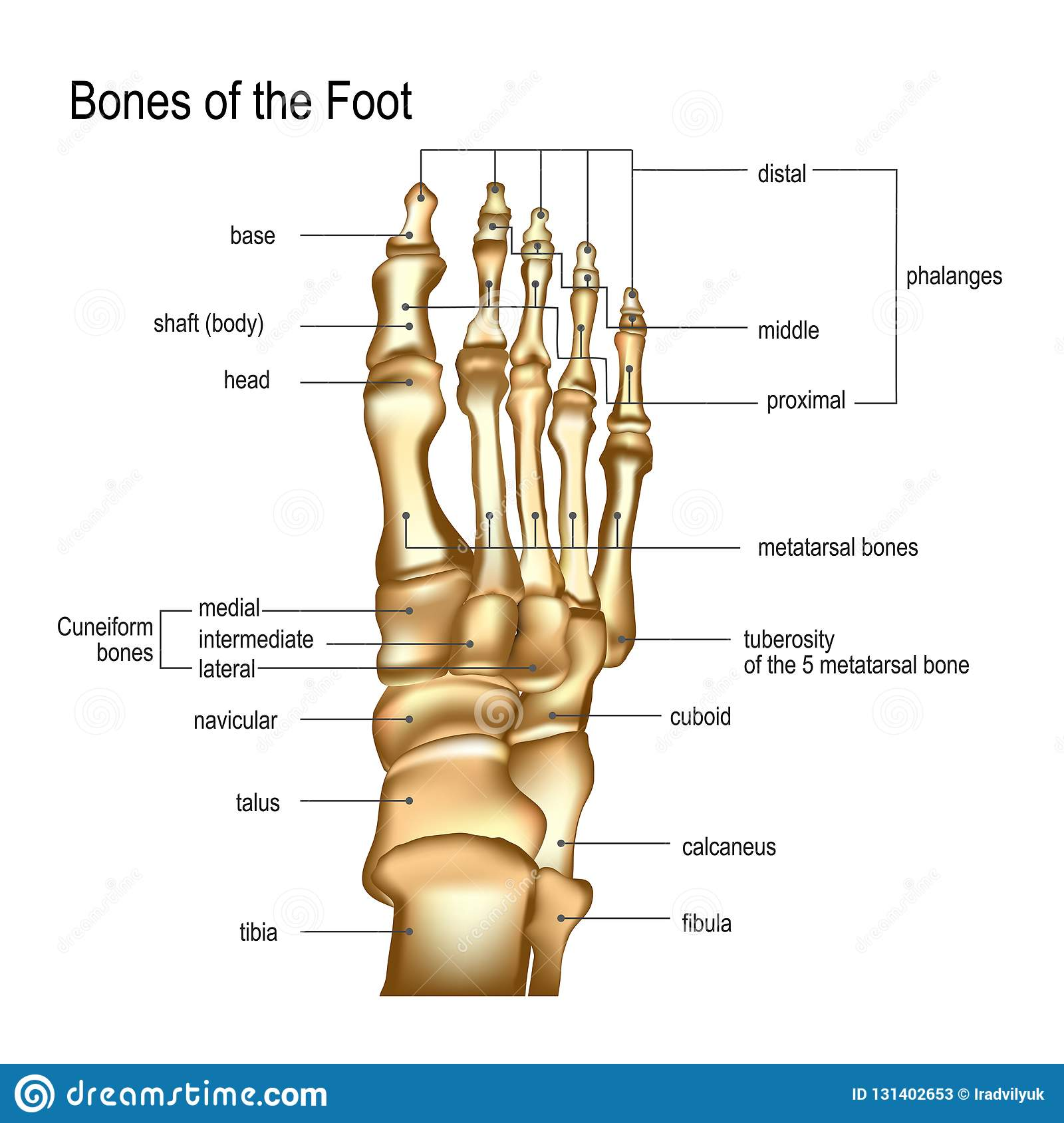 hight resolution of realistic skeleton of human leg with titles of bones of foot anatomy of joints dorsal top view for advertising or medical publications