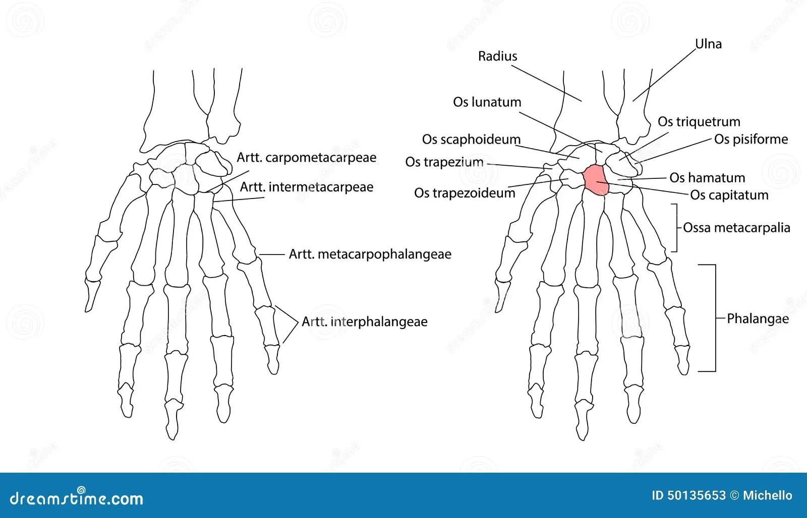 Bones Of The Left Hand Stock Vector Illustration Of