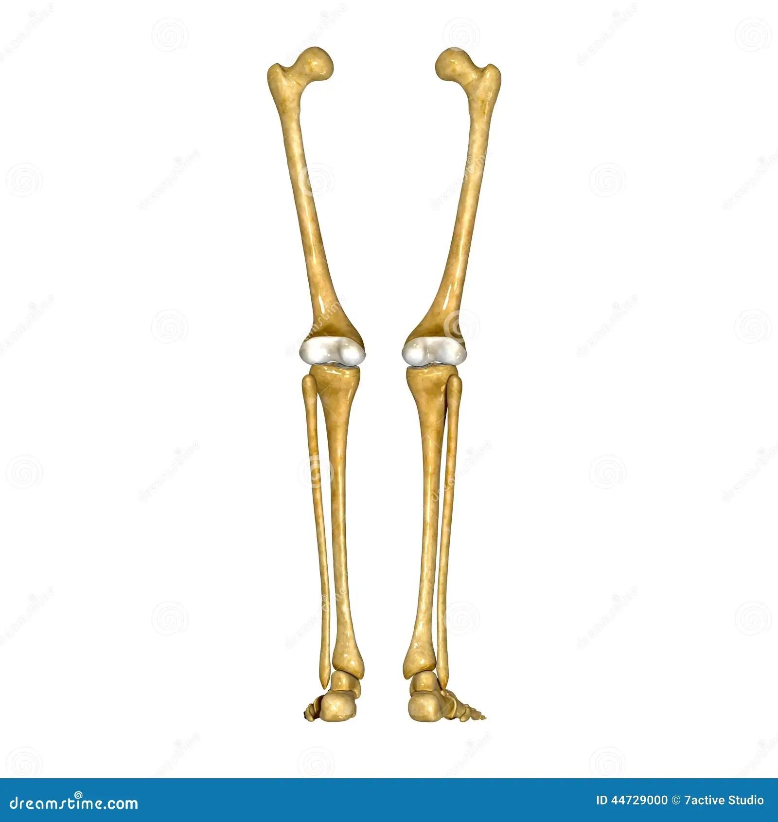 tibia and fibula blank diagram farmall cub 12 volt wiring bones of leg foot stock photo image