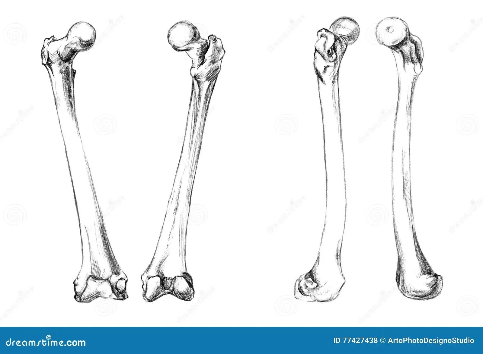 Femur Bone Pencil Drawing Stock Illustrations 6 Femur