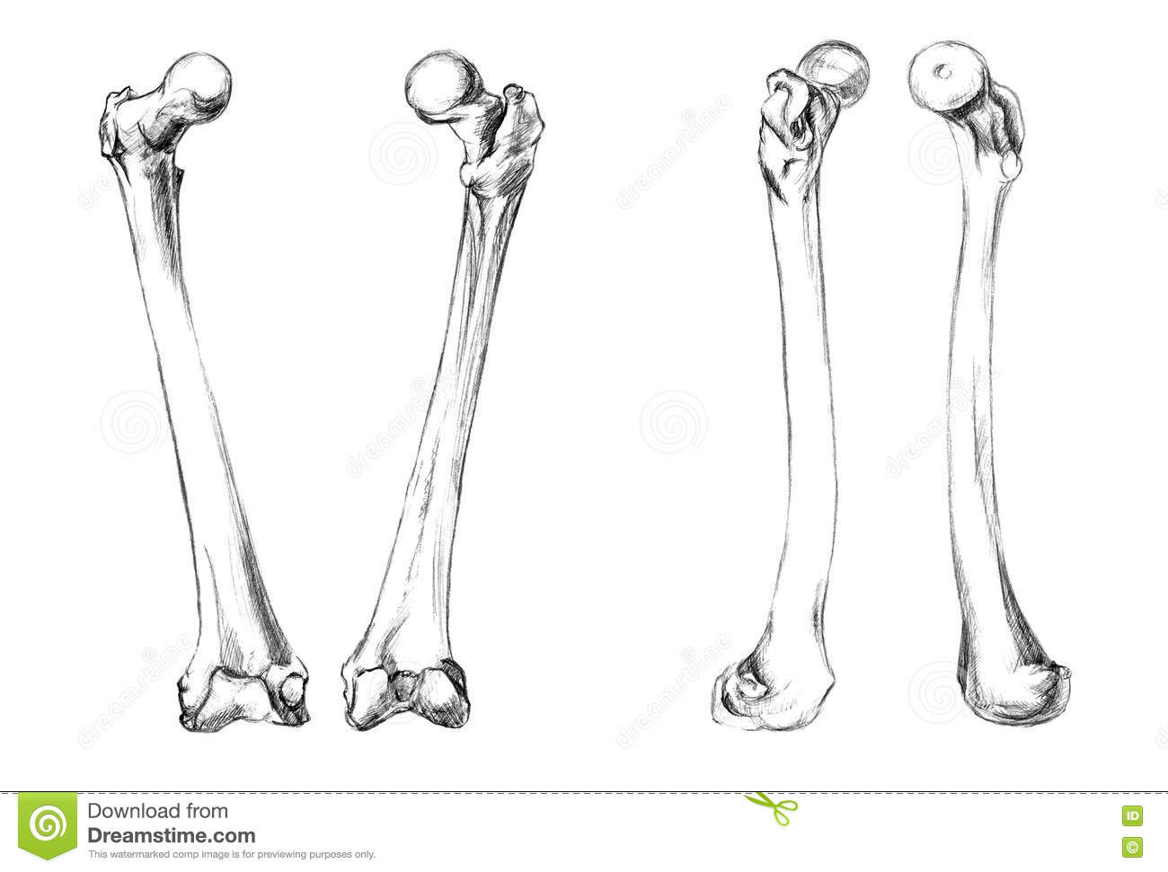 Bones Of Legs Femur Stock Illustration