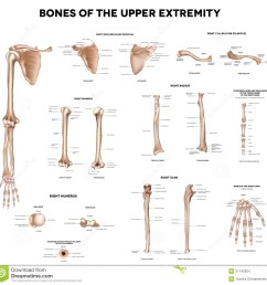 bones of the upper extremity clavicle collar bone scapula shoulder blade humerus ulna radius finger and hand detailed medical illustrations  [ 1300 x 1285 Pixel ]