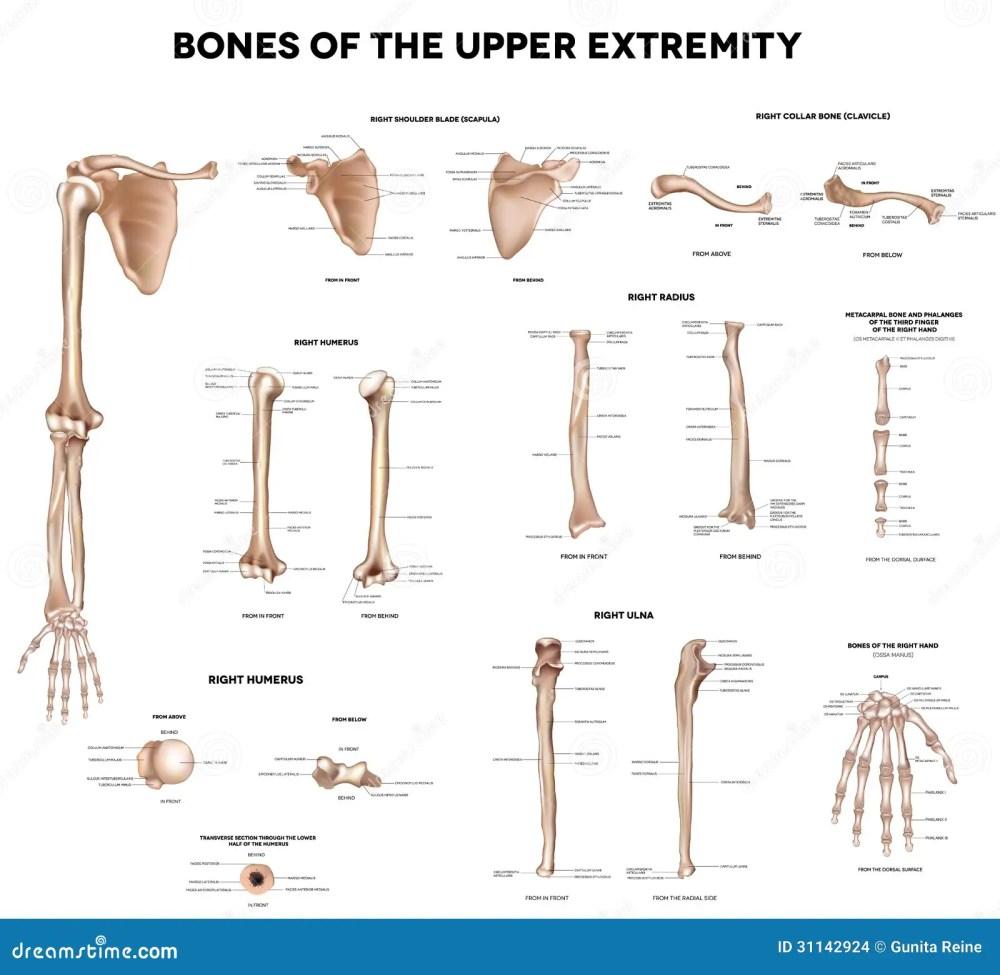 medium resolution of bones of the upper extremity clavicle collar bone scapula shoulder blade humerus ulna radius finger and hand detailed medical illustrations