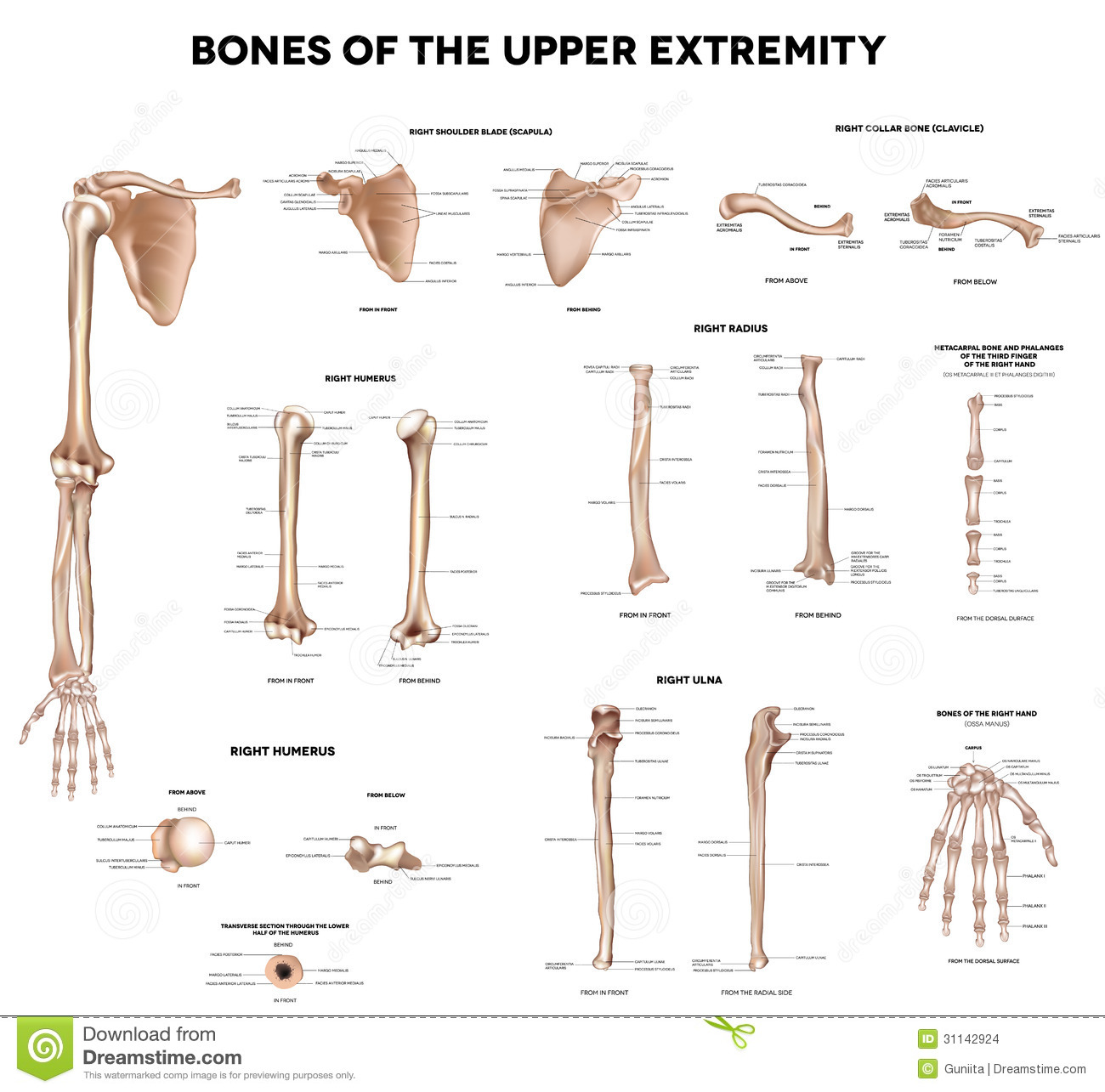 hight resolution of bones of the upper extremity clavicle collar bone scapula shoulder blade humerus ulna radius finger and hand detailed medical illustrations