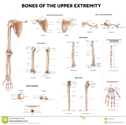 small resolution of bones of the upper extremity clavicle collar bone scapula shoulder blade humerus ulna radius finger and hand detailed medical illustrations