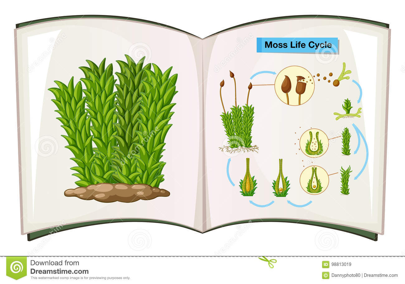 life cycle of moss plant diagram 2000 harley sportster 1200 wiring fern vector illustration cartoondealer