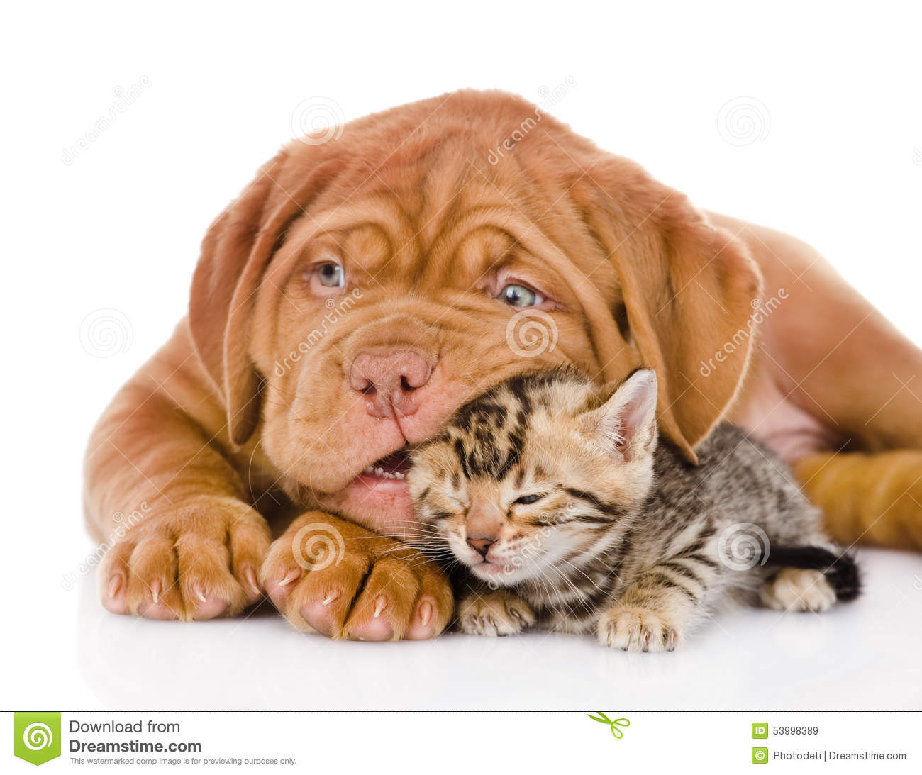 Cute Little Love Couple Hd Wallpaper Bordeaux Puppy Dog Playing With Bengal Kitten Isolated
