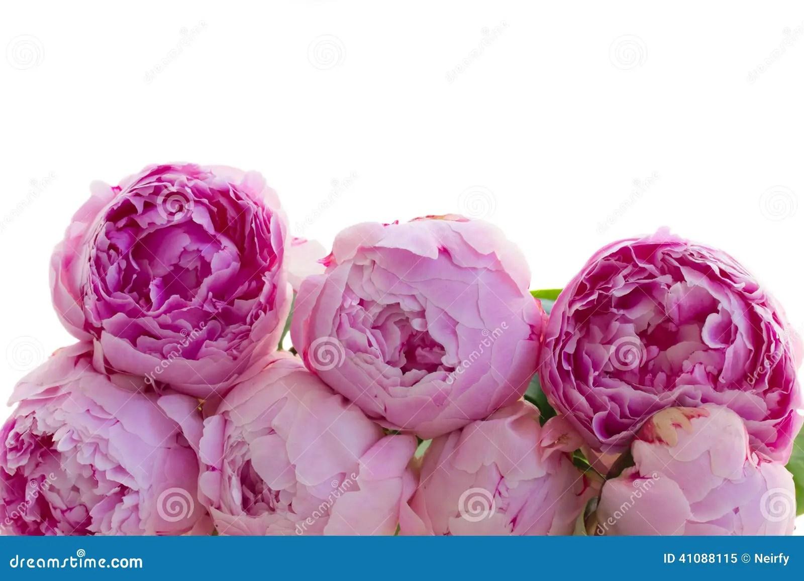 Border Of Pink Peonies Stock Photo Image 41088115