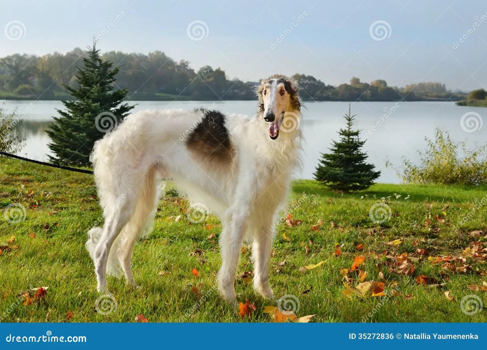 Fall Dog Wallpaper Borzoi Dog Stock Photo Image Of Russian Hunter Grass