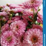 Bouquet Of Chrysanthemums Fall Flowers Close Up Blooming Pink Chrysanthemum Background White Stock Photo Image Of Background Flowers 129728990