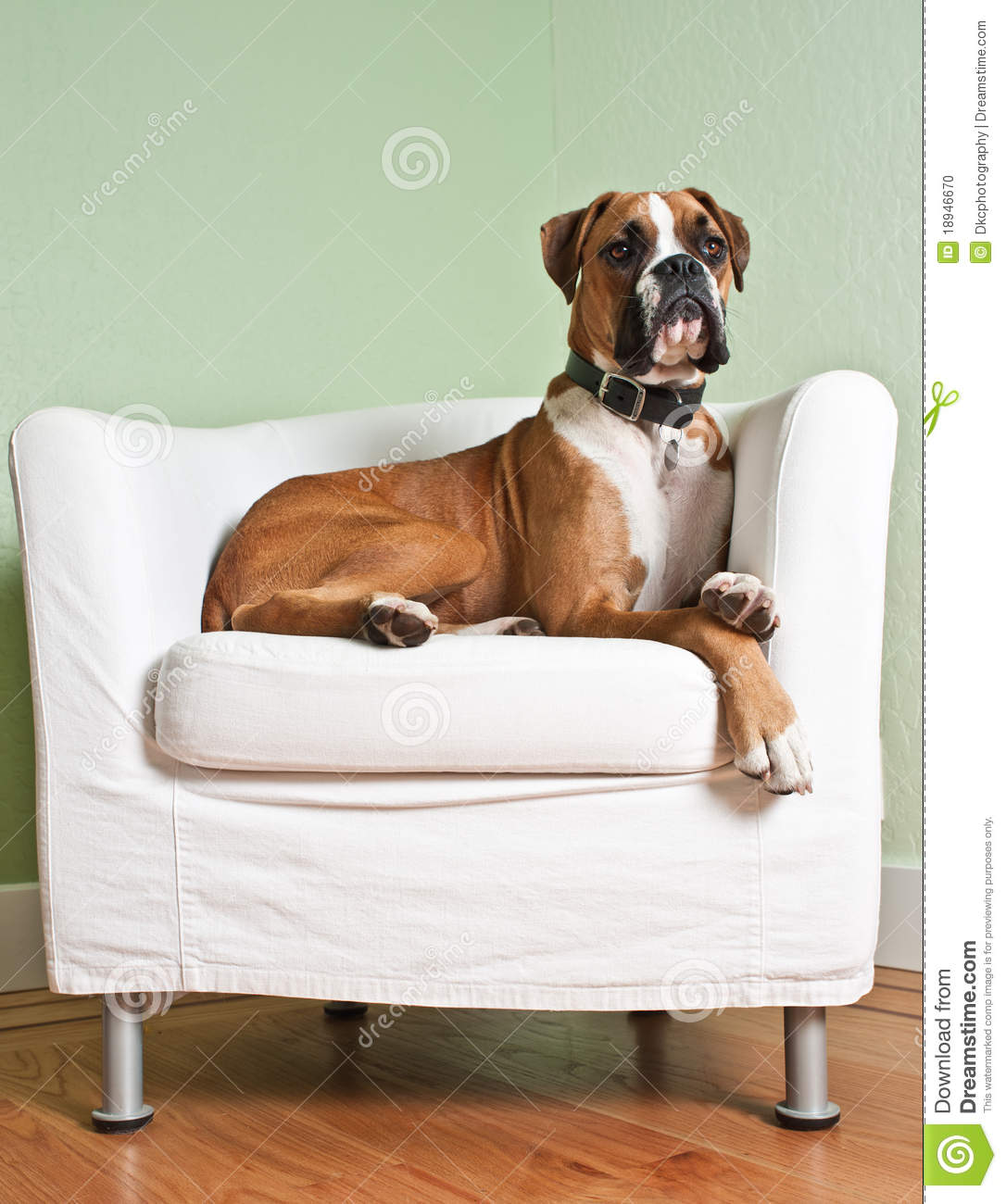 chairs for dogs slipcovers parsons boxer dog in chair stock photo image of white lounging