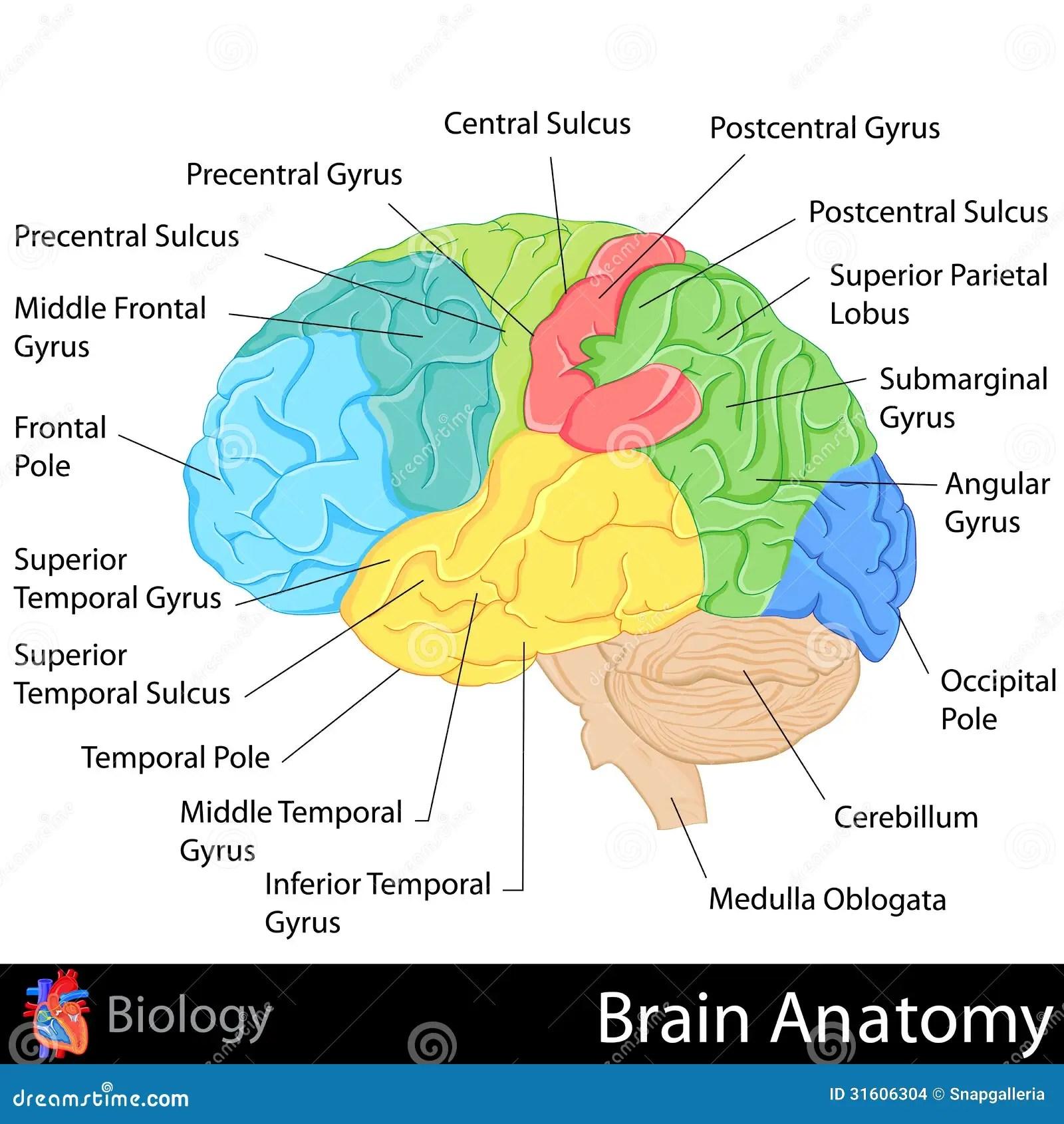 easy brain diagram delco alt wiring anatomy stock illustration of body