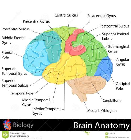 small resolution of easy to edit illustration of brain anatomy diagram