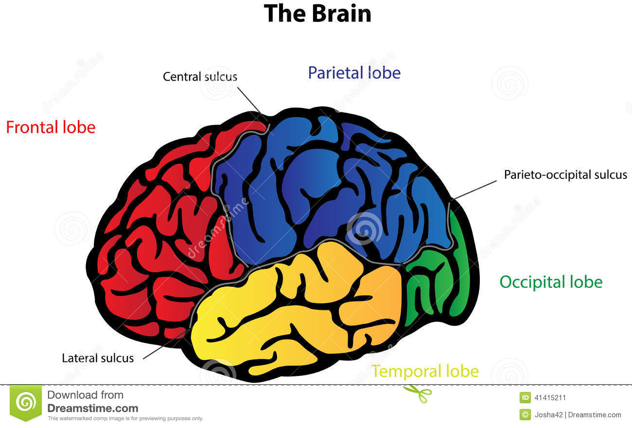 hight resolution of brain anatomy labeled diagram