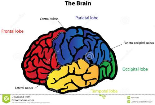 small resolution of brain anatomy labeled diagram