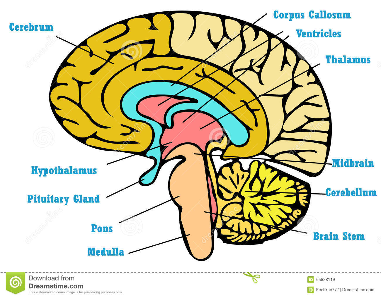 Brain Anatomy Scheme Stock Illustration Illustration Of