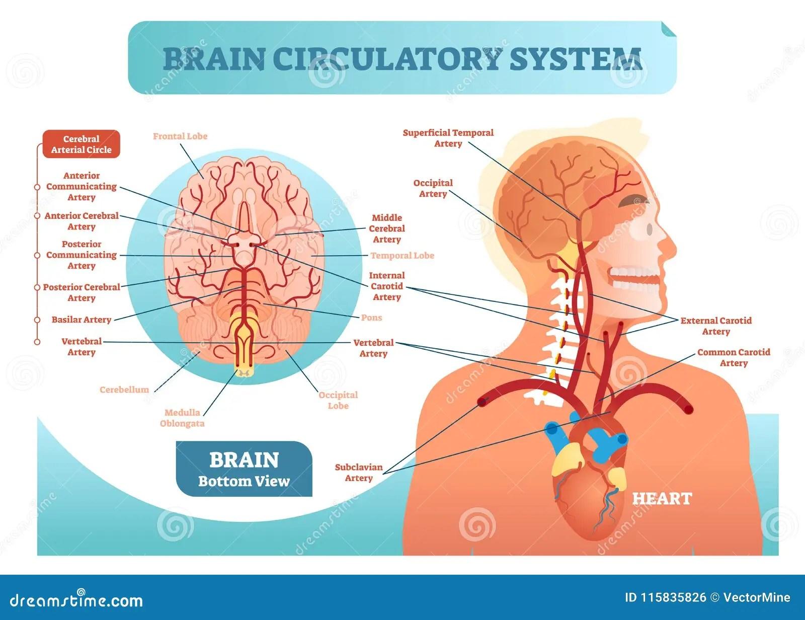 internal brain diagram honda ruckus ignition wiring circulatory system anatomical vector illustration human blood vessel network scheme