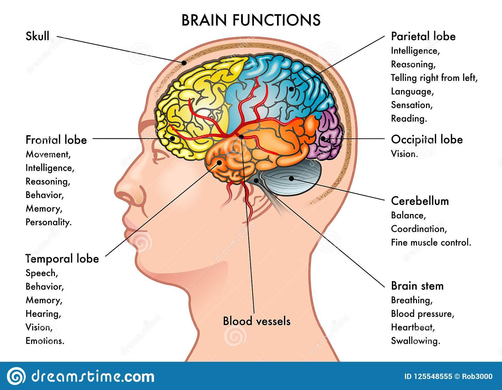 hight resolution of chart vector illustration of a human head in profile showing the functions of the brain isolated on a white background