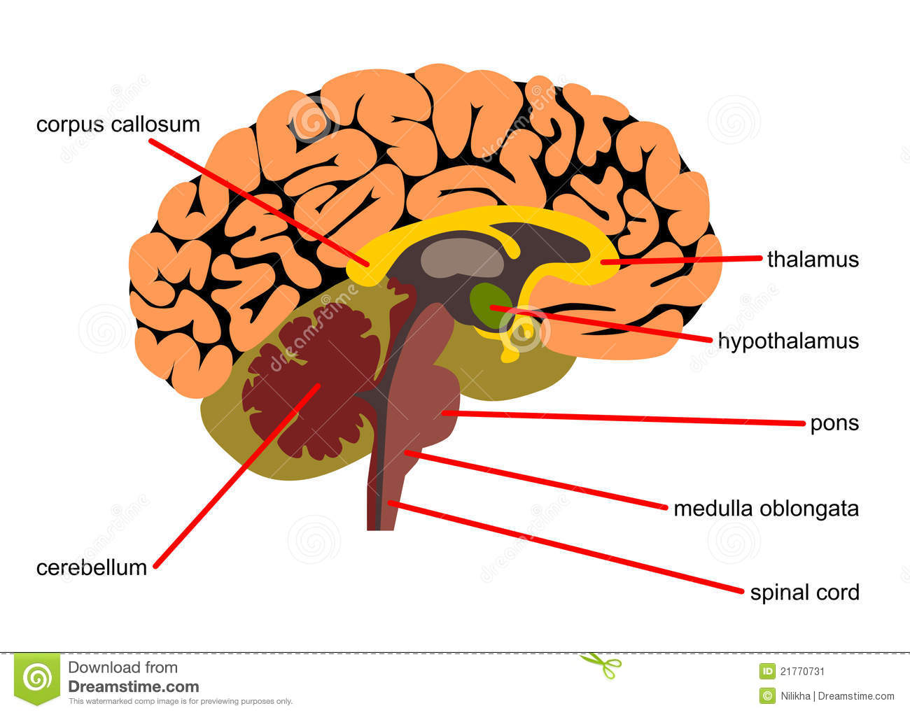 Brain Parts In Side View Stock Illustration Illustration