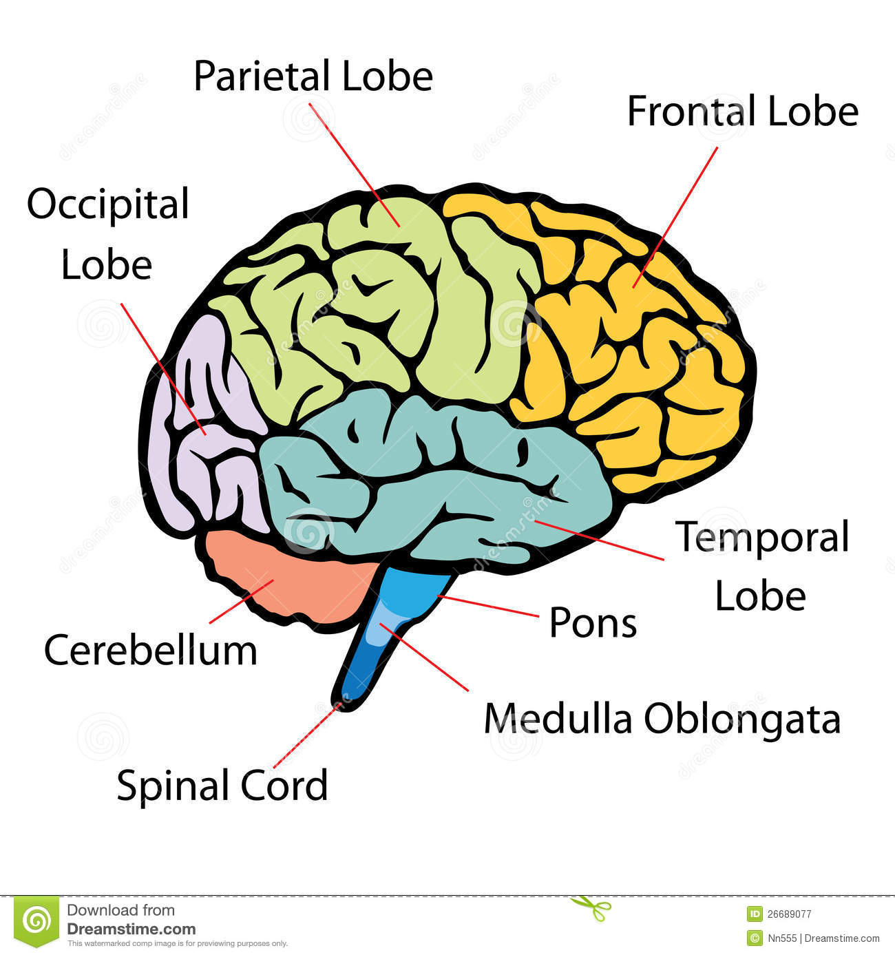 brain cross section diagram 2004 f150 wiring sections stock vector illustration of intellect