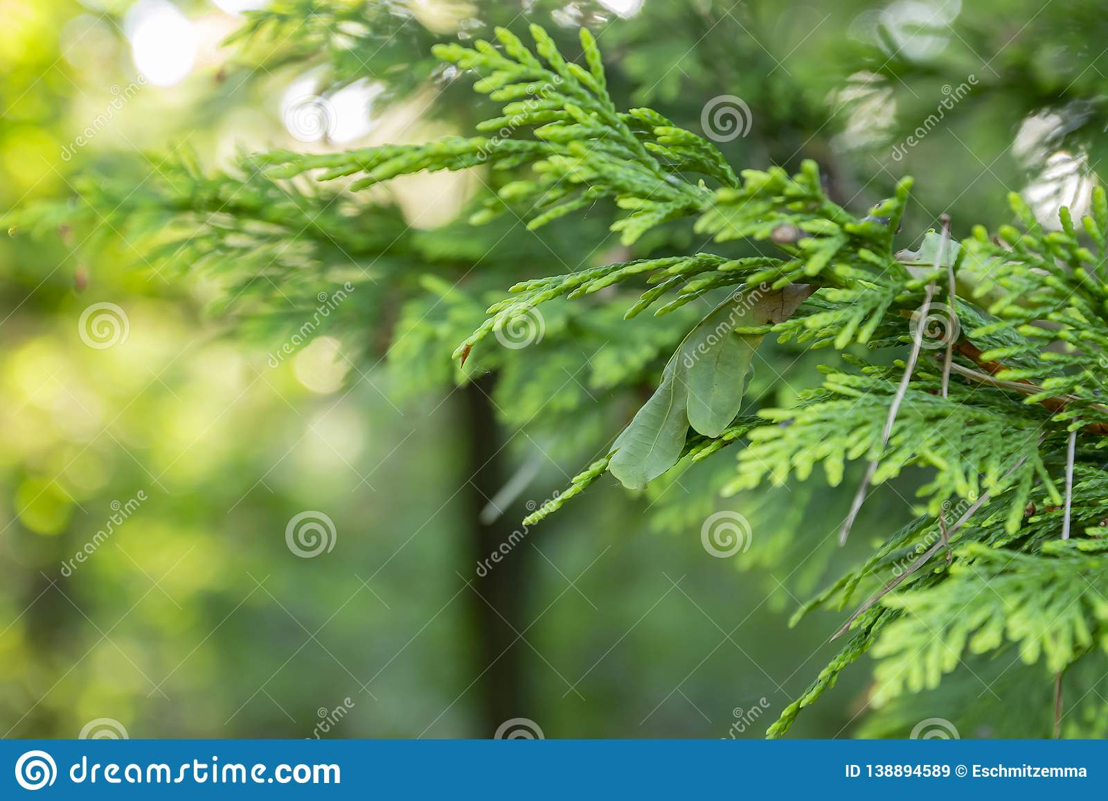 In addition, it's resistant to man. A Branch Of A Conifer With A Leaf Of An Oak Tree And A Few Pine Needles Stock Image Image Of Season Leaves 138894589