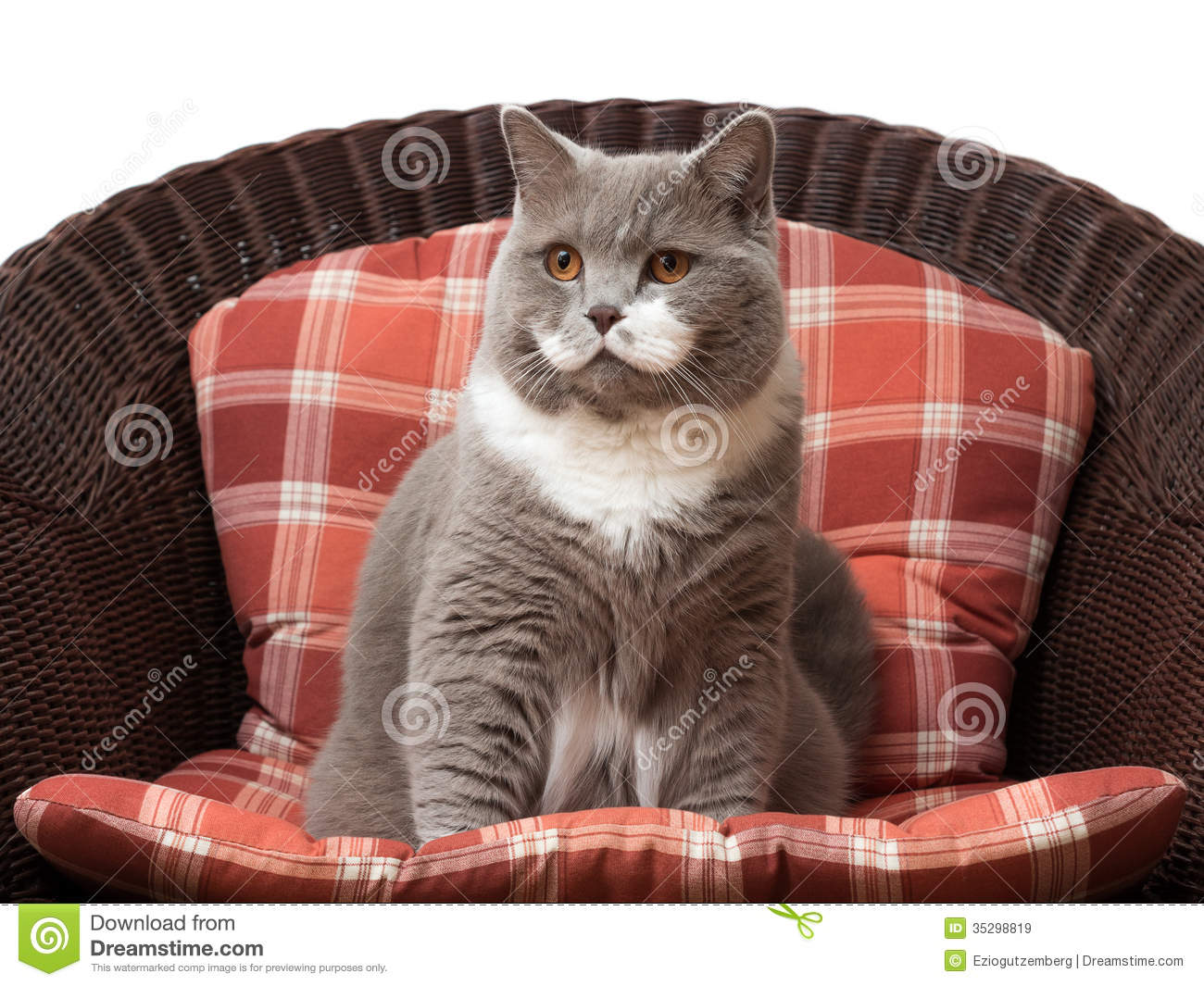 British Shorthair Cat On The Chair Royalty Free Stock