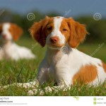 Brittany Spaniel Puppies Stock Image Image Of Couple 1621265