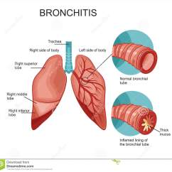 Lungs Human Anatomy Diagram Skeletal And Muscular System Animal Cell