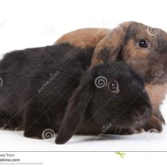 Chairs For High Table Dining Room And Chair Sets Brown Black Lop Eared Rabbits Stock Photo - Image: 17866678
